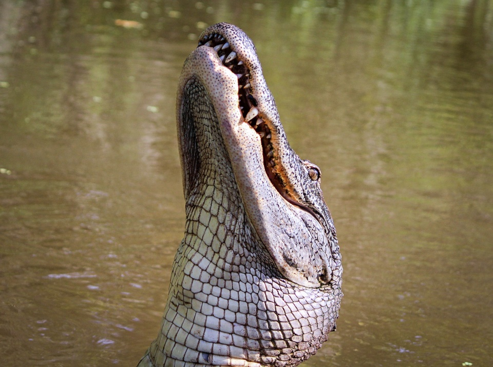 alligator island nc